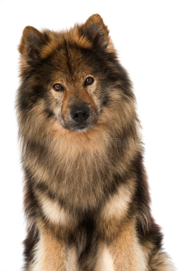 Eurasier狗坐白色背景 库存图片