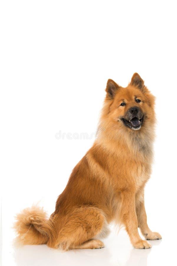 Eurasier狗坐白色背景 免版税图库摄影