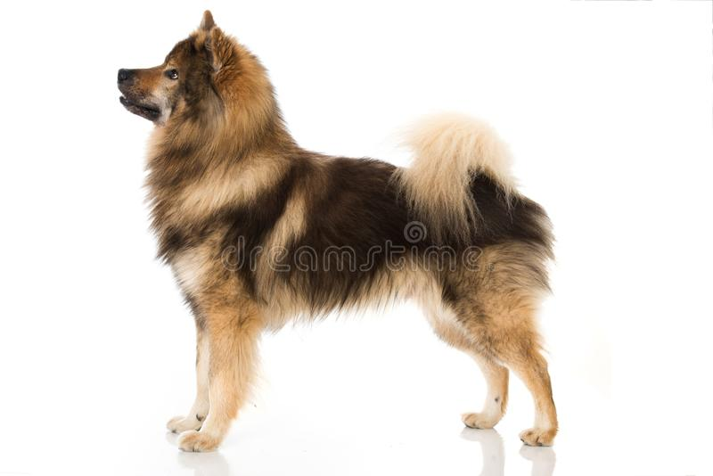 Eurasier dog standing on white background royalty free stock photos