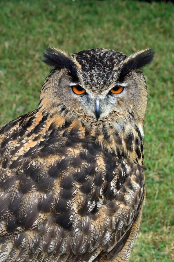 Eurasier Eagle Owl lizenzfreies stockfoto