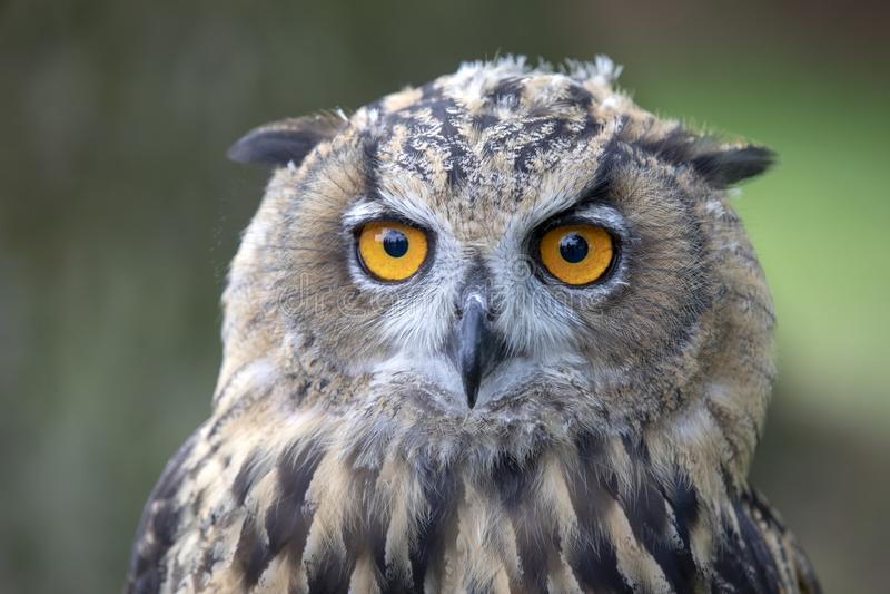 Eurasier Eagle Owl lizenzfreies stockbild