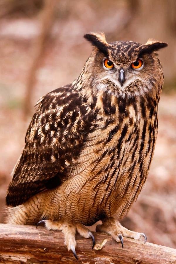 Eurasier Eagle Owl - intensives Anstarren stockbilder