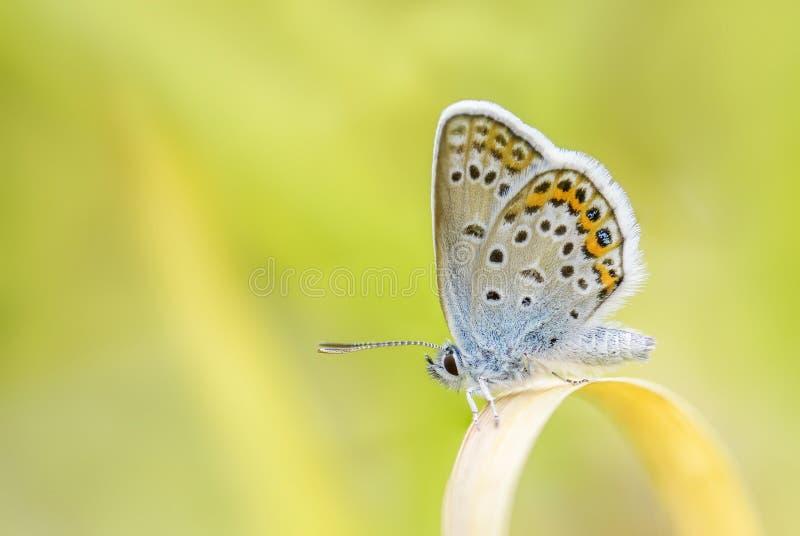 Eurasier Jay - Garrulus glandariusSilver-verzierte blauen Schmetterling - Plebejus Argus lizenzfreies stockfoto