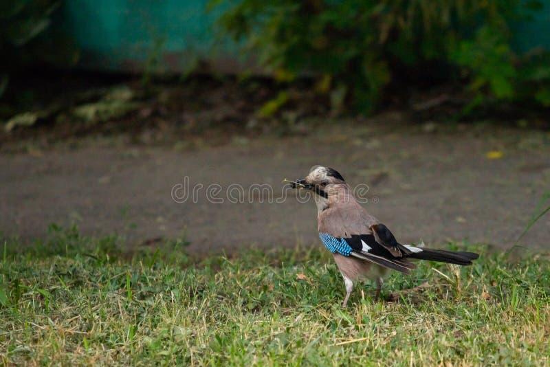 Eurasier Jay oder Garrulus glandarius Vogel stockbilder