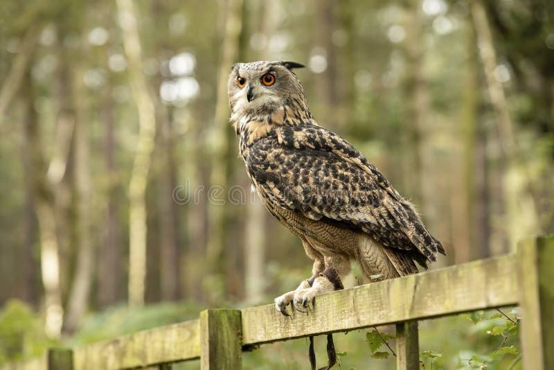 Eurasion Eagle Owl, sentando-se em uma cerca na floresta fotos de stock royalty free