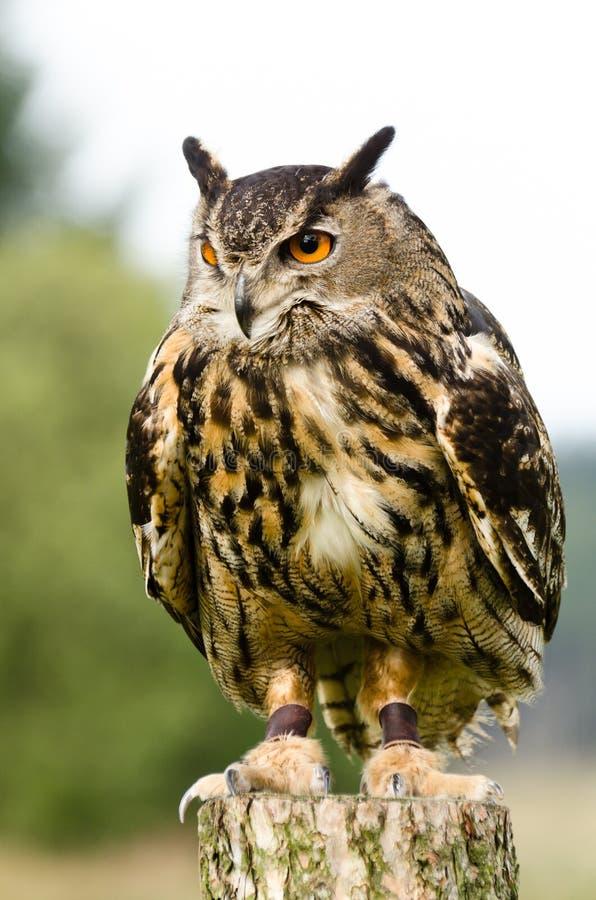 Eurasische Adler-Eule auf Protokoll stockfotografie