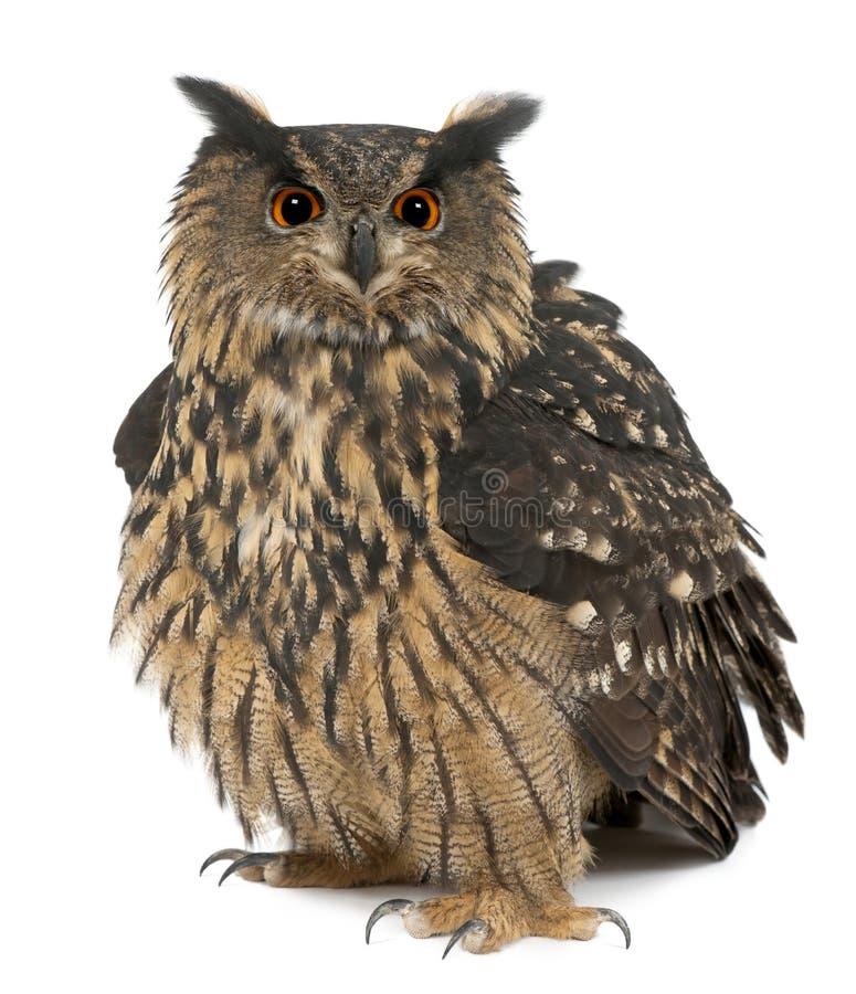 Eurasische Adler-Eule, Bubo Bubo, 15 Jahre alt