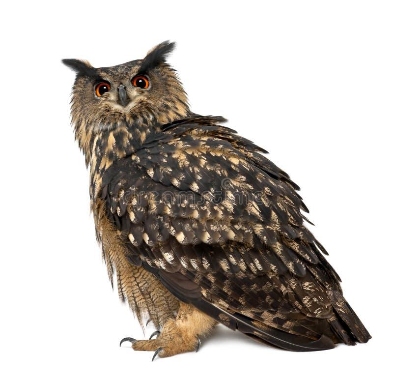 Eurasische Adler-Eule, Bubo Bubo, 15 Jahre alt stockbilder