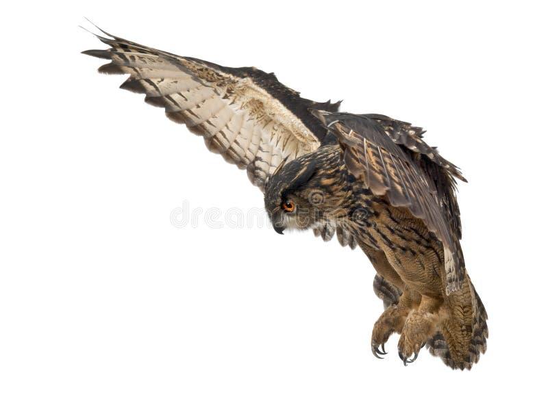 Eurasische Adler-Eule, Bubo Bubo lizenzfreies stockfoto