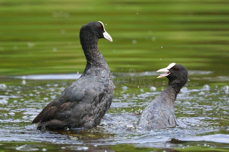 Eurasische Blässhühner, Fulica atra, Wasservögel kämpfen stockfotografie
