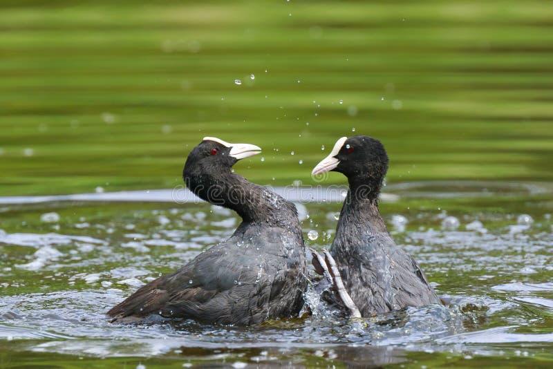 Eurasische Blässhühner, Fulica atra, Wasservögel kämpfen lizenzfreies stockbild
