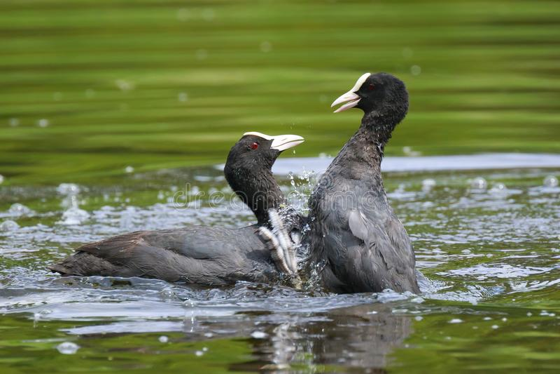 Eurasische Blässhühner, Fulica atra, Wasservögel kämpfen stockfotos
