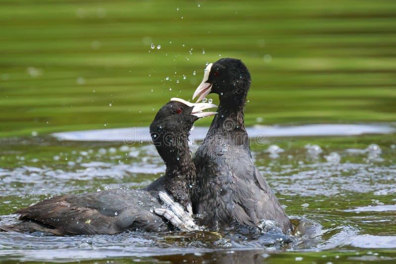 Eurasische Blässhühner, Fulica atra, Wasservögel kämpfen lizenzfreie stockfotos