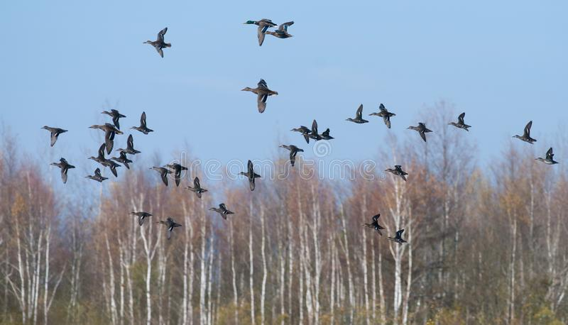 Eurasische Knickenten fliegen zusammen mit Stockenten über Herbstsumpf lizenzfreie stockfotografie