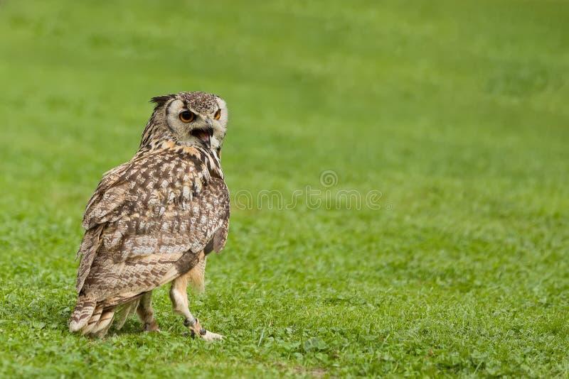 Eurasischer Adler-EuleBubo Bubo lizenzfreie stockbilder