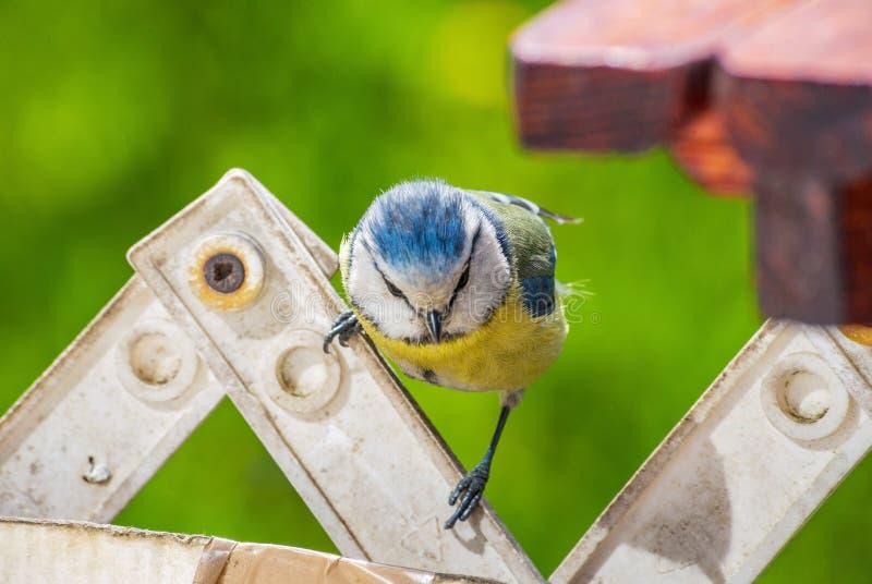 Eurasischer Blaumeisevogelfensterbrett-Tabellenzaun, der Lebensmittel sucht stockbilder