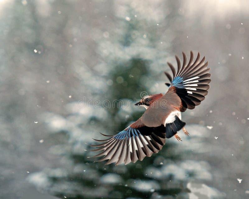 Eurasischer Eichelhäher, Garrulus glandarius Fliegen in fallendem Schnee lizenzfreie stockfotos