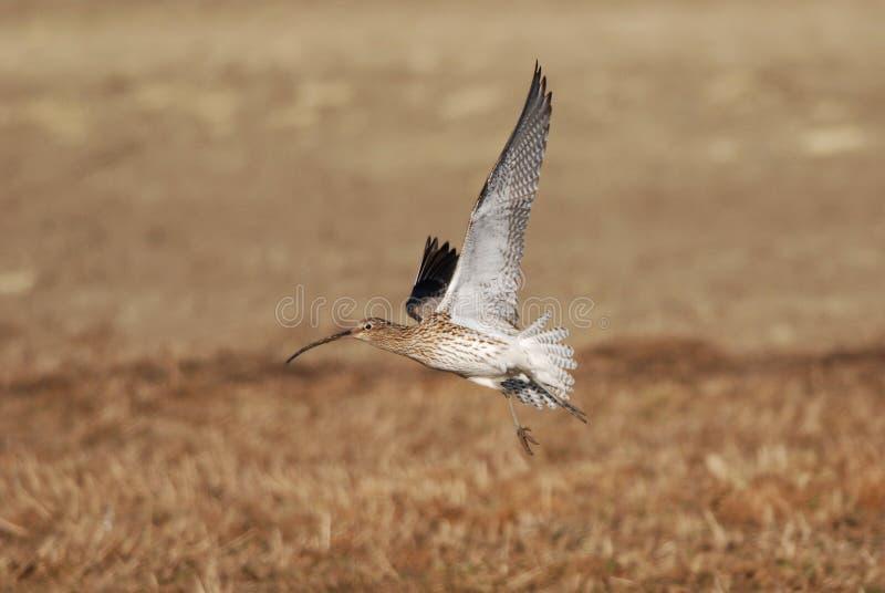 Eurasischer großer Brachvogel lizenzfreie stockfotos