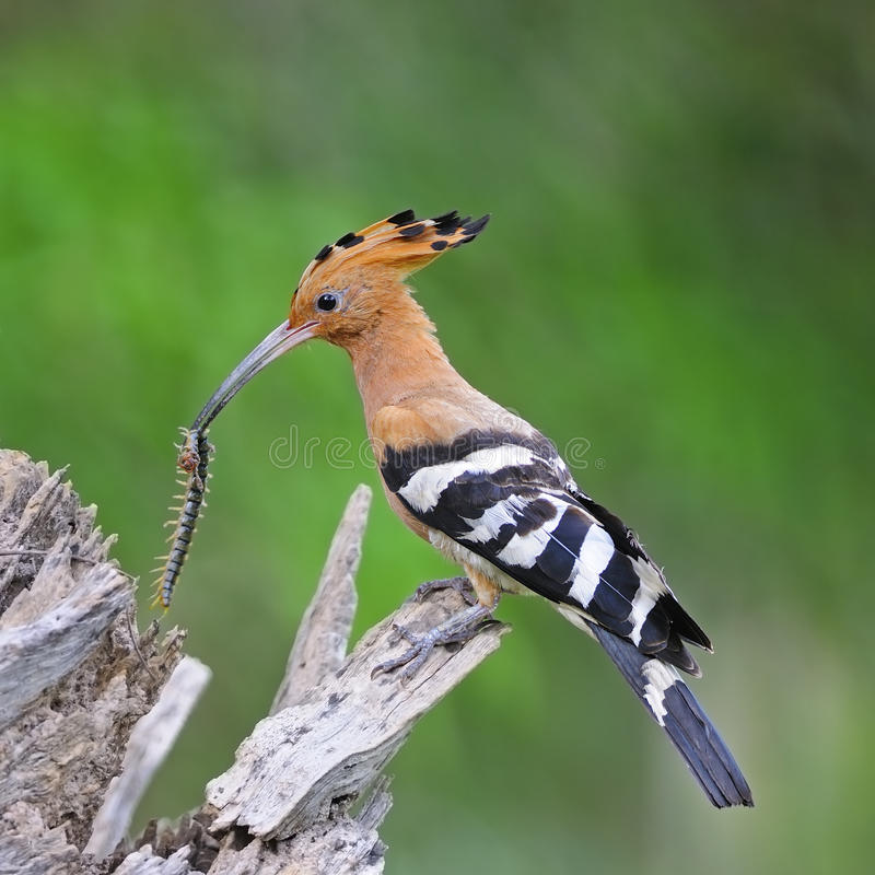 Eurasischer Hoopoe stockfotos