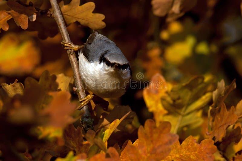 Eurasischer Kleiber Sitta europaea sitzt auf einem Baum auf Herbst lizenzfreies stockbild