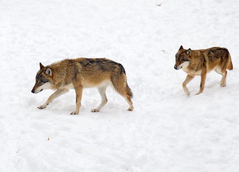 Eurasischer Wolf stockfotos