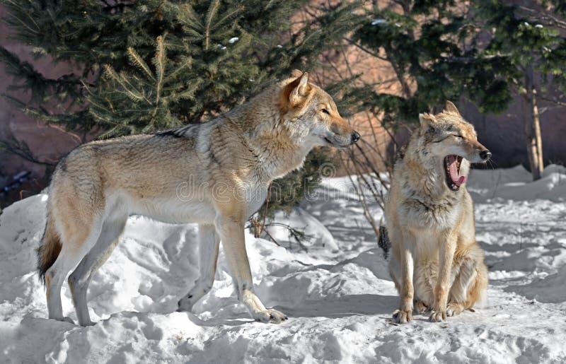 Eurasischer Wolf Canis Lupus Lupus Paare Wölfe lizenzfreies stockfoto