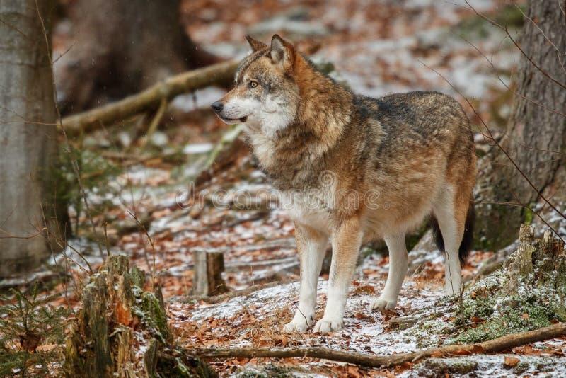 Eurasischer Wolf im Naturlebensraum im bayerischen Wald lizenzfreie stockfotos