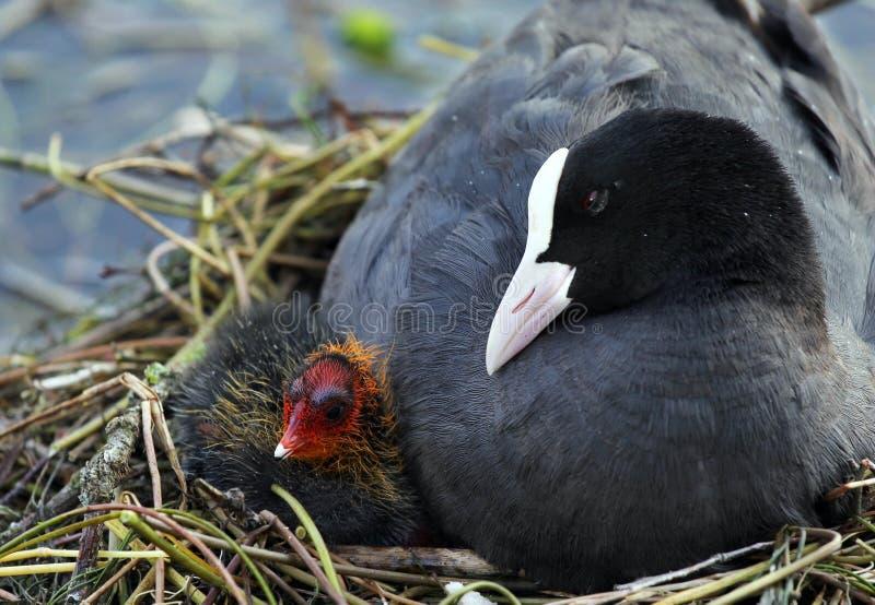 Eurasisches Blässhuhn (Fulica atra) mit Baby stockbilder