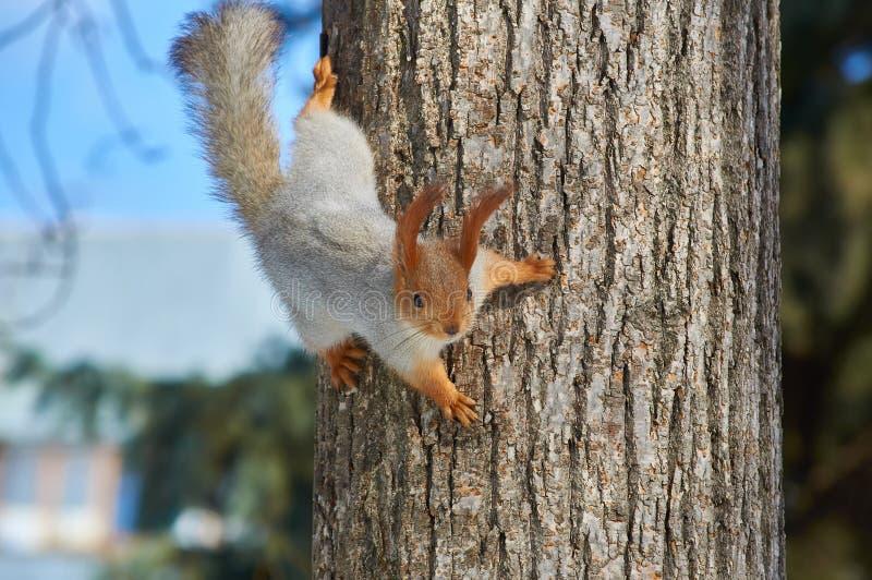 Eurasisches Eichhörnchen, das an einem Baum in einem Park umgedreht, f hängt lizenzfreie stockbilder