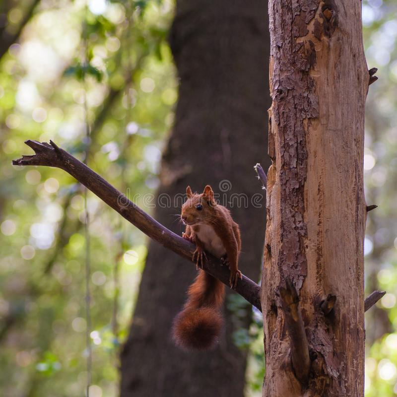 Eurasisches Eichhörnchen am maximalen Alarm stockfotos