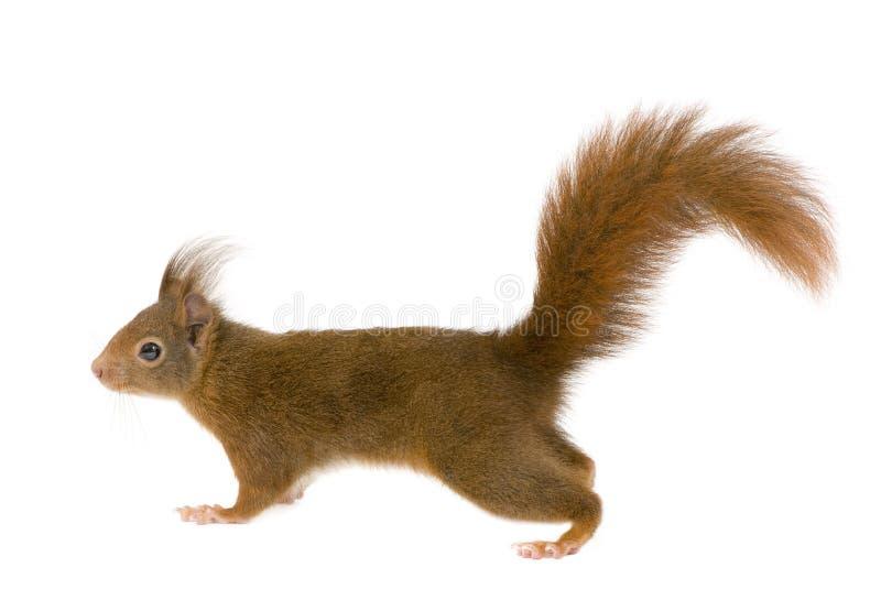 Eurasisches rotes Eichhörnchen - Sciurus gemein (2 Jahre) lizenzfreies stockfoto