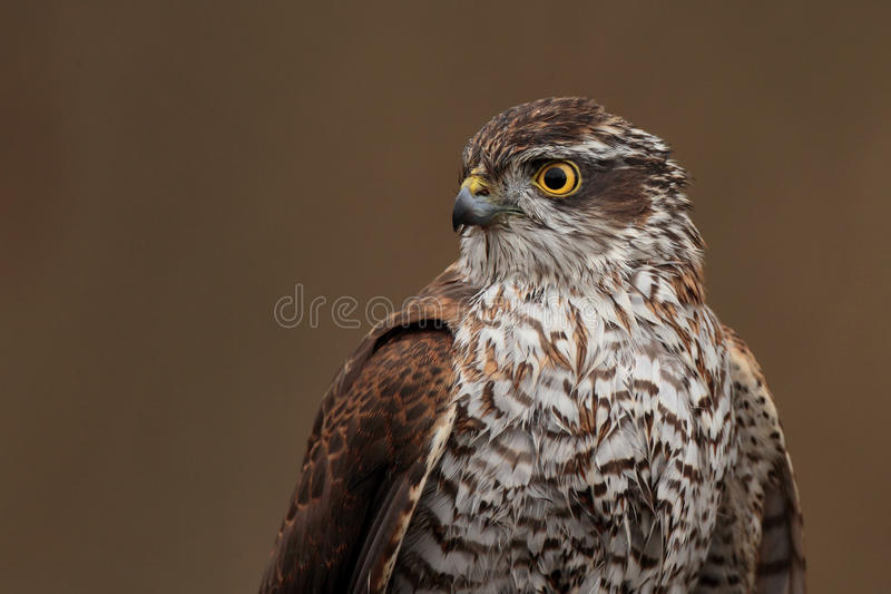 Eurasisches Sparrowhawk stockfoto