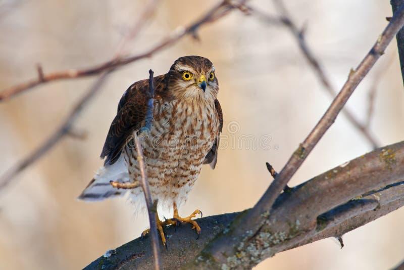 Eurasisches sparrowhawk bereitet sich für einen neuen Angriff auf den defens vor lizenzfreies stockfoto