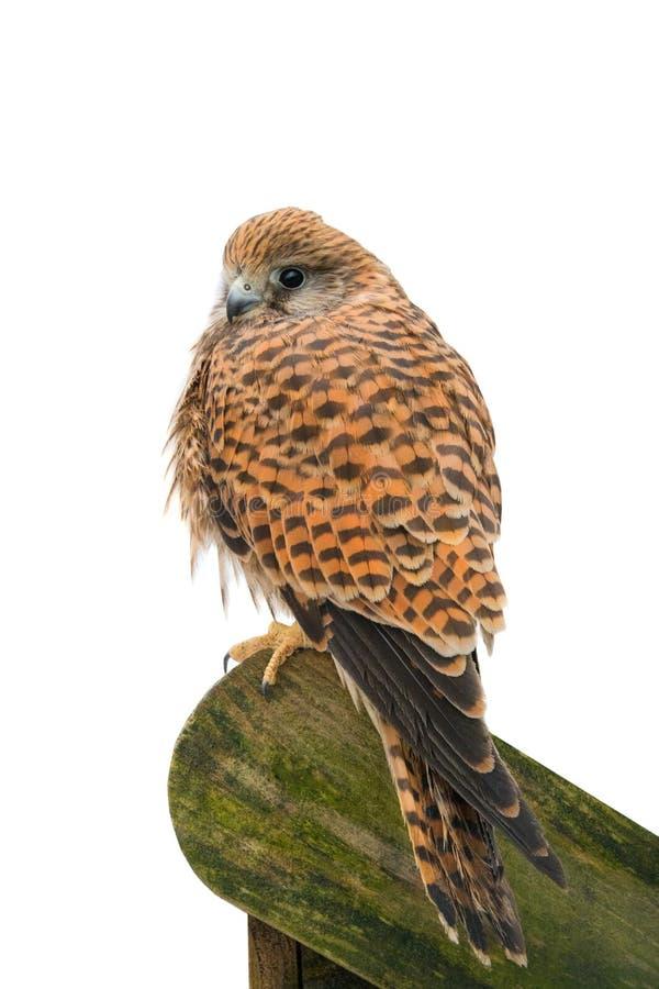 Eurasisches Turmfalke-Falco-tinnunculus stockfotos