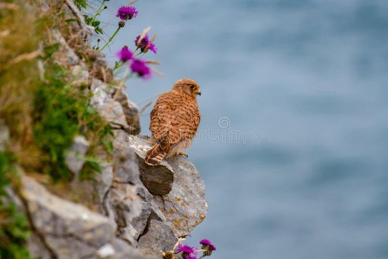 Eurasisches Turmfalke-Falco-tinnunculus auf Pembrokeshire-Klippe stockfotos