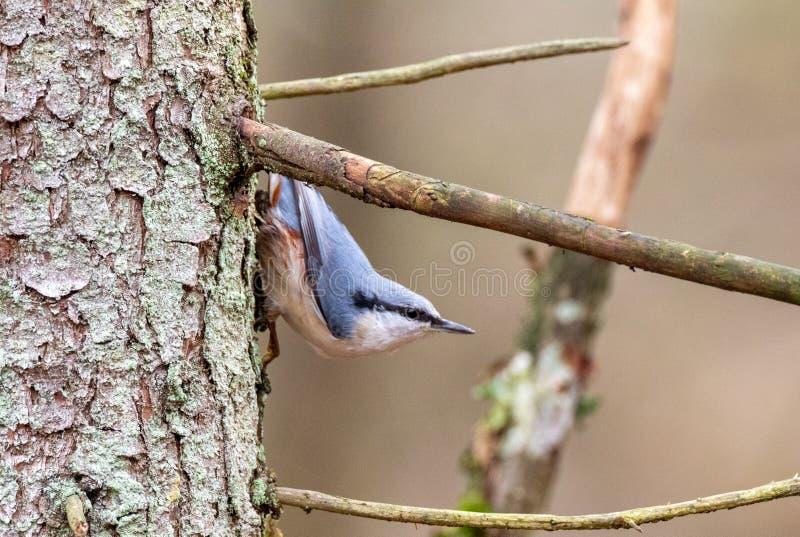 Euraziatische nest in het najaar stock fotografie