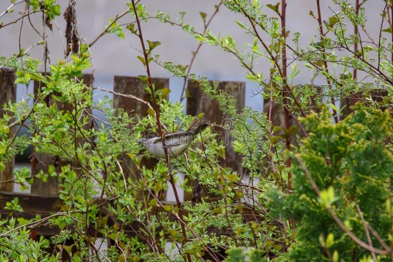 Euraziatische zwarte kap, Sylvia atricapilla-vogel in de tuin stock fotografie