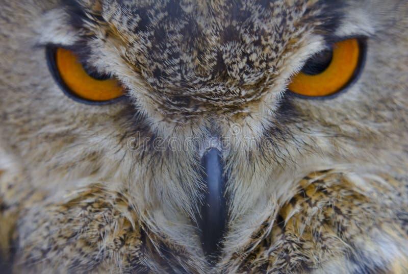 Eurazjata Eagle sowa fotografia royalty free