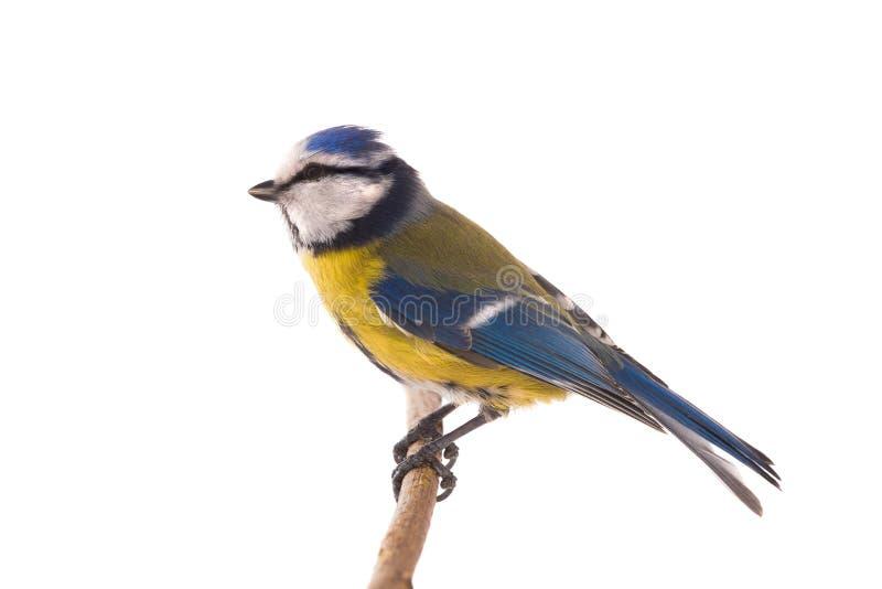 Eurazjatycki Błękitny Tit zdjęcie stock