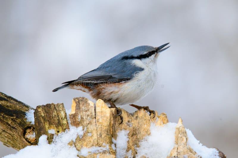 Eurazjatycki bargiel, śliczny śpiewacki ptak obrazy stock