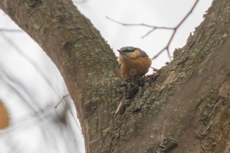 Eurazjatycki bargiel, drewniany bargiel na drzewnego Sitta europaea ptaka śpiewającego zimy Małym czasie zdjęcie stock
