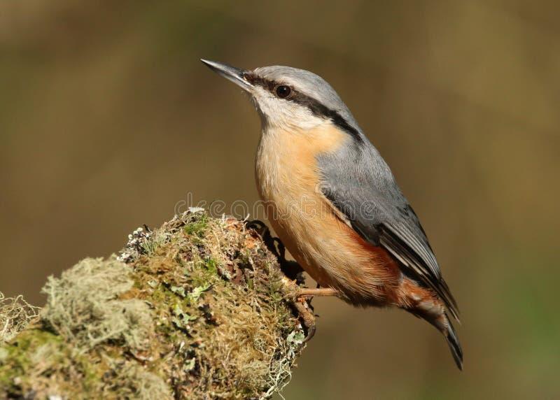 Eurazjatycki bargla Sitta europaea ptak obrazy stock