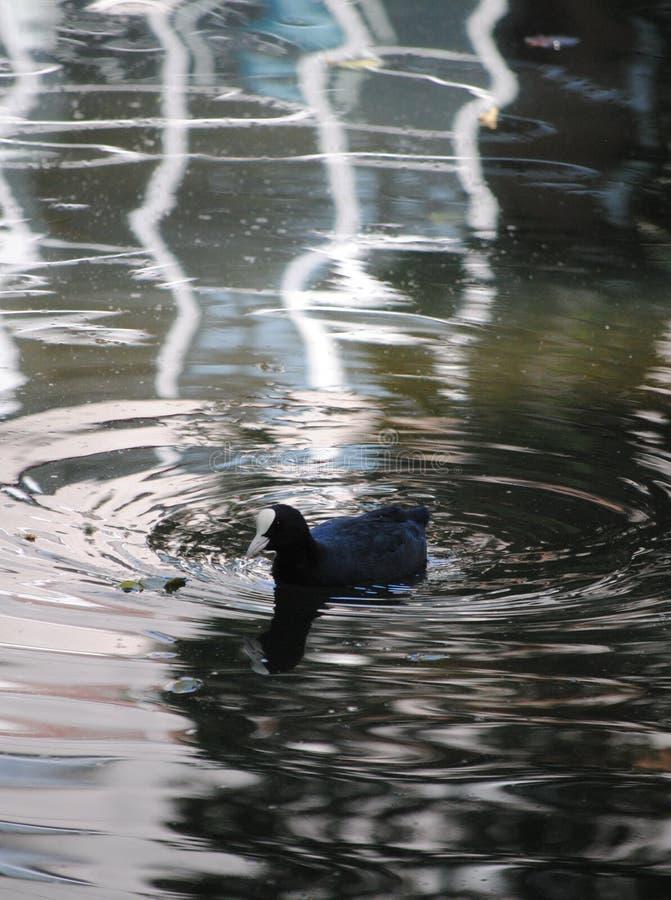 Eurazjatycki Coot w Londyńskim parku obraz stock