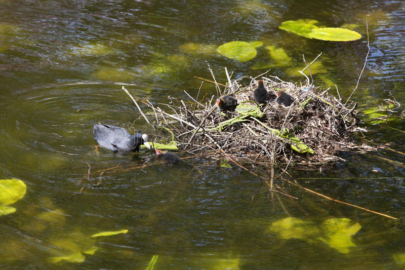 Download Eurazjatycki Coot Z Juveniles Zdjęcie Stock - Obraz złożonej z holandie, wiosna: 53782554