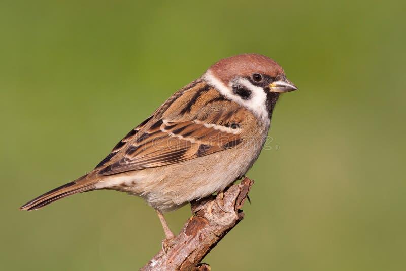 Download Eurazjatycki Drzewny Wróbel Obraz Stock - Obraz złożonej z ptaki, środowiskowy: 28957915