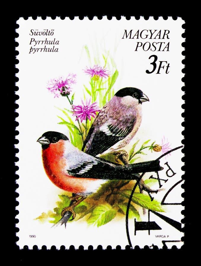 Eurazjatycki gil, ptaka seria około 1990, (Pyrrhula pyrrhula) zdjęcia royalty free