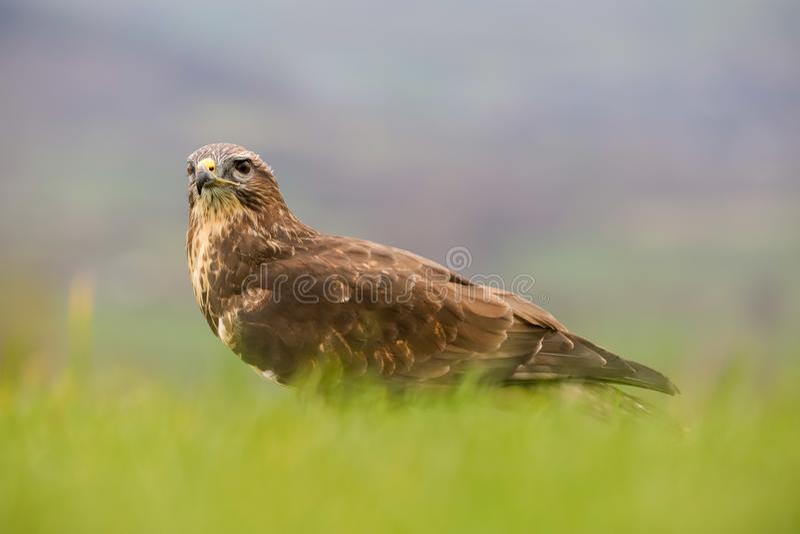 Eurazjatycki Pospolity myszołowa buteo buteo ptak zdobycz obrazy royalty free