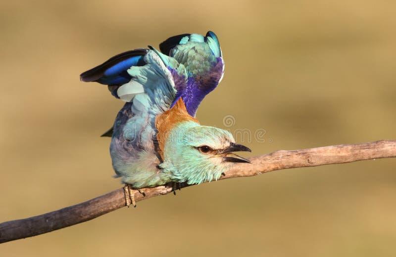 Eurazjatycki rolkowy Coracias garrulus zdjęcia stock