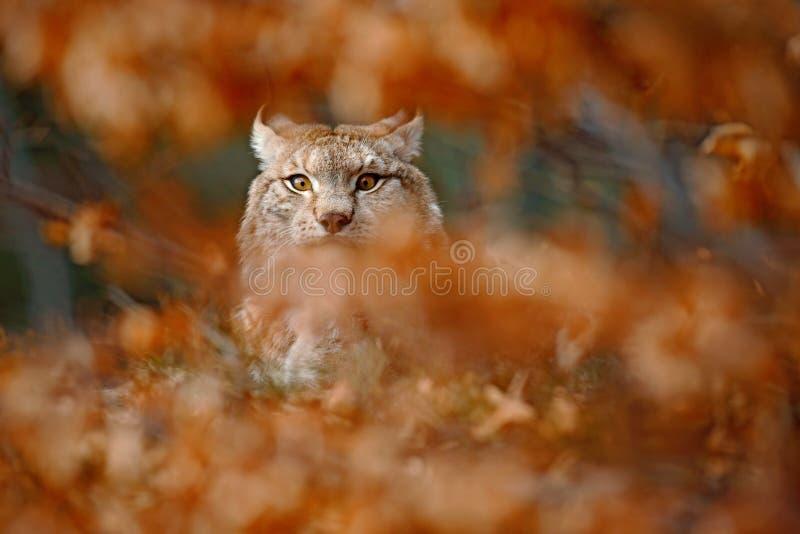 Eurazjatycki ryś, portret chujący w pomarańcze gałąź dziki kot, zwierzę w natury siedlisku, Niemcy zdjęcia royalty free