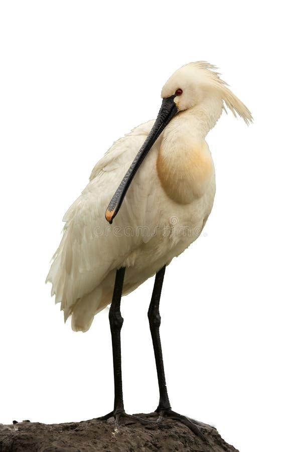 Eurazjatycki Spoonbill, biały ptak odizolowywający na białym tle zdjęcie stock